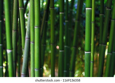 Bamboo forest. Bamboo green backgrounds.