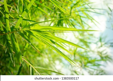 Bamboo forest, green nature background - photo