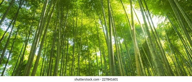 Bamboo Forest in Japan. Bamboo Groove in Arashiyama, Kyoto.