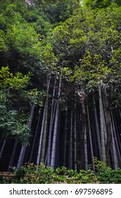 Bamboo forest in Kyoto - Natural peaceful background