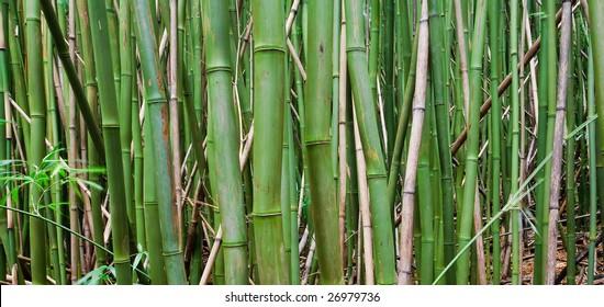 Bamboo Forest Maui, Hawaii
