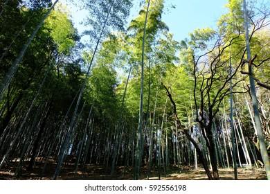 Bamboo forest, Onoji, Machida, Tokyo, Japan