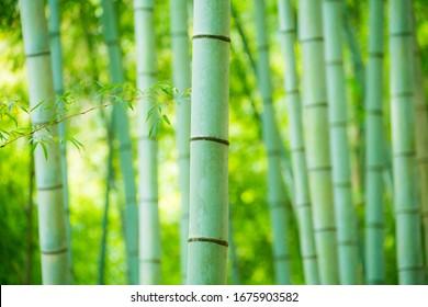 Bamboo forest in Otsu City, Shiga Prefecture, Japan