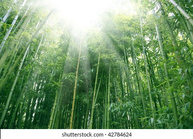 the bamboo of a forest outdoor in china.