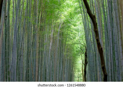 Bamboo forest  park .Kyoto.Japan
