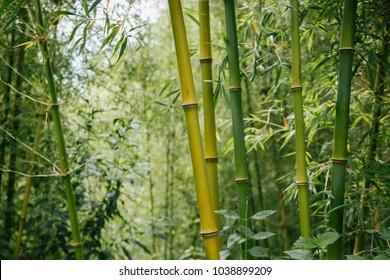 bamboo forest in Rwanda