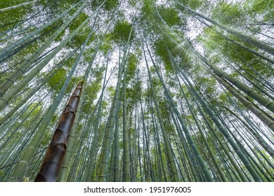 bamboo forest in spring, tall bamboo shoot and sunshine