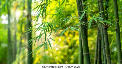 Bamboo forest and sunlight background