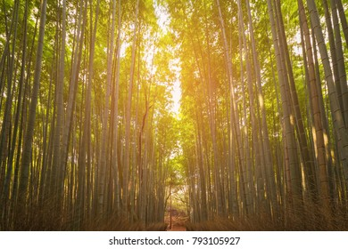 Bamboo forest with sunlight behind, Kyoto Japan garden