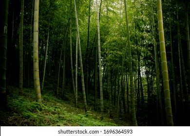 Bamboo forest. The sun's rays fall on the dense forest.