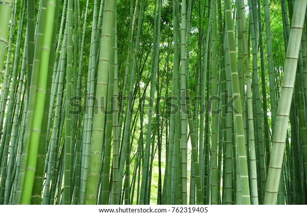 https://image.shutterstock.com/image-photo/bamboo-garden-600w-762319405.jpg