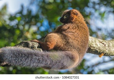 Bamboo or gentle lemur, Ranomafana (hot water in Malagasy) National Park, Madagascar