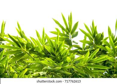 bamboo green leaf on white background