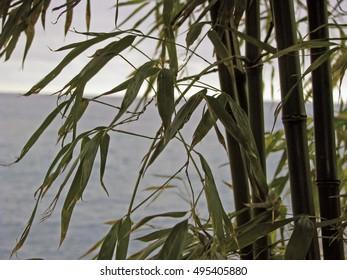 Bamboo grove against the sea