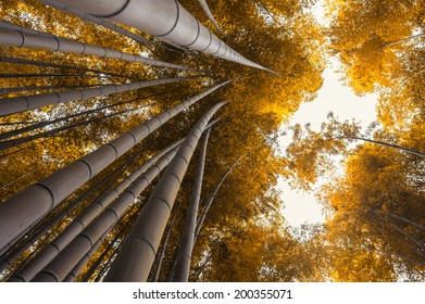 Bamboo grove, bamboo forest at Arashiyama, Kyoto, Japan in autumn scene