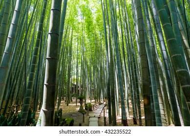 Bamboo grove, bamboo forest at Kamakura, Kanagawa, Japan