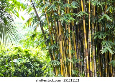 bamboo grove in the jungles of the Philippines