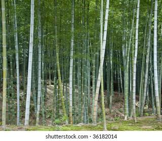 A bamboo grove near Arashiyama, Kyoto.