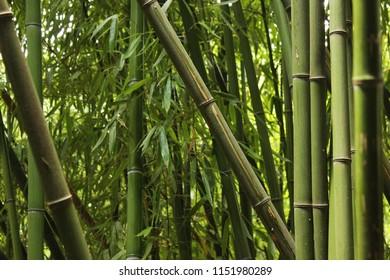 Bamboo grove. Bamboo trunks