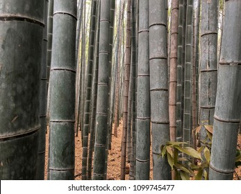 Bamboo growing in a grove