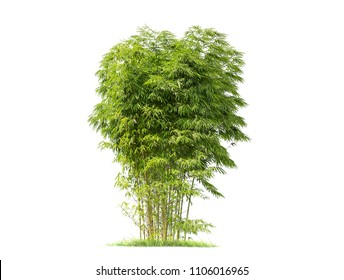 Bamboo. Isolated tree on white background