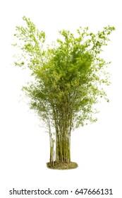 Bamboo. Isolated tree on white background