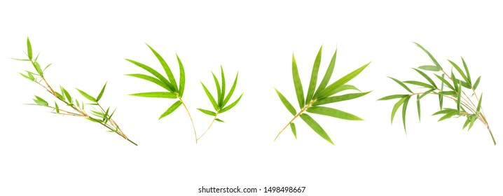 Bamboo leaf isolated on white background, Fresh bamboo leaves texture as background or wallpaper, Chinese bamboo leaf, Collection or set of green bamboo leaves