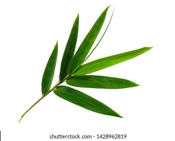 Bamboo leaf on white background. Tree with green leaves. The name of the plant is Bambusoideae.