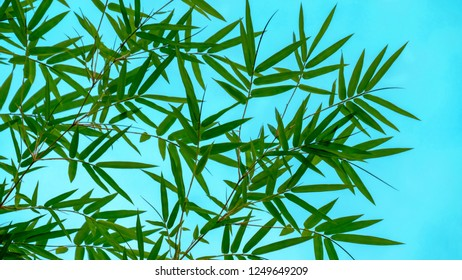 bamboo leaf with sly blue
