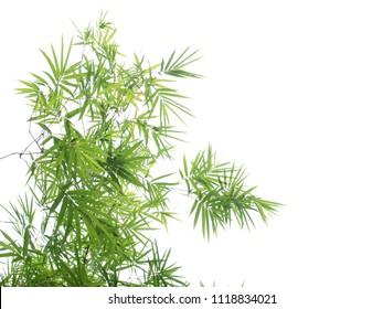 Bamboo leaf tree on white background