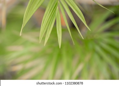 Bamboo leaves, for the background