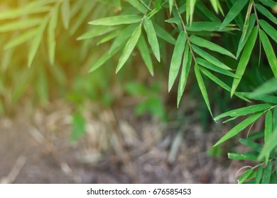 bamboo leaves background, bamboos are evergreen perennial flowering plants in the subfamily