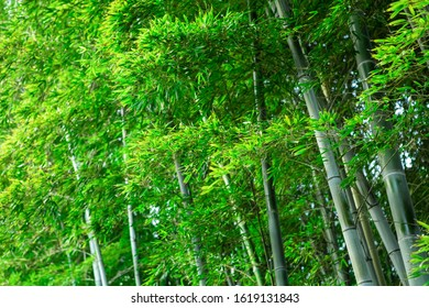 Bamboo leaves, background bamboo grove.