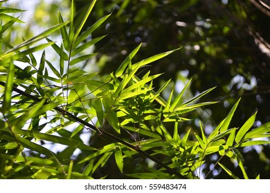 Bamboo leaves with backlit from sunlight