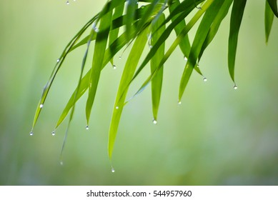 Bamboo leaves and drops of morning dew.