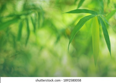 Bamboo leaves in fresh clear morning air. A serene in green nature atmosphere of beautiful bamboo forest. Blurred image in cool tone for background and wallpaper in simple and calm of a zen mood.