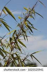 bamboo leaves in the summer with blue sky
