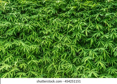 Bamboo leaves wall texture background