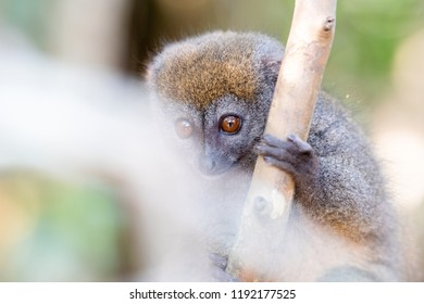 Bamboo lemur (Eastern lesser bamboo lemur). Lemur in trees and nature. Madagascar animals wildlife, wild animal in Madagascar. Holiday tour in Andasibe, Isalo, Masoala, Marojejy National parks.