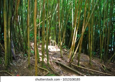 Bamboo at Manoa Falls, Oahu