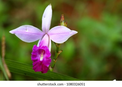 Bamboo orchid in the Sinharaja jungle of Sri Lanka
