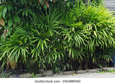 The Bamboo palm or Lady palm tree (Rhapis excelsa) is planted on the side of a local road, which is not only beautiful but also reduces air pollution.