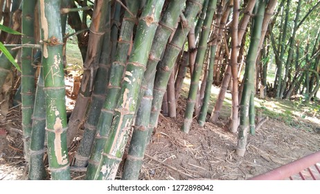 """Bamboo plant. Bamboos are a group of woody perennial evergreen plants in the true grass family Poaceae.  The word """"bamboo"""" comes from the Kannada term bambu, which was introduced to English through In"""