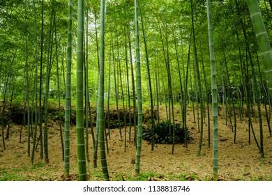 bamboo shoot harvest in Japan