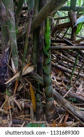 bamboo shoot in nature