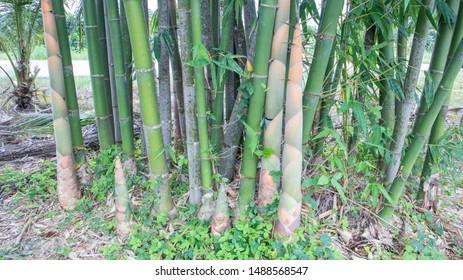 Bamboo shoots break from bamboo trees in bamboo gardens