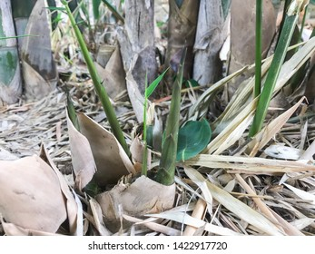 Bamboo shoots in bamboo clumps