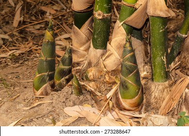 Bamboo shoots during the dry season