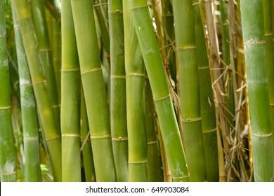 Bamboo shoots growing in Australia.