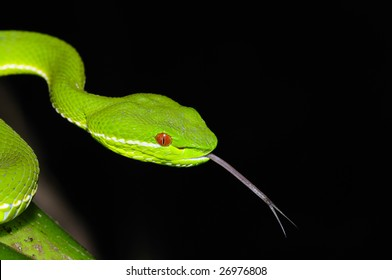 Snake Tongue Images, S...